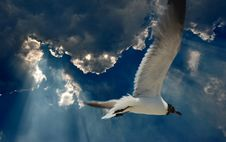 Free Seagull In The Blue Sky Royalty Free Stock Image - 1271826