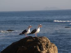 Free Pair Of Squaking Seagulls Royalty Free Stock Photo - 1271895