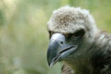 Griffon Vulture - Young Royalty Free Stock Photography