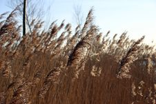 Free Reeds Royalty Free Stock Images - 1272579