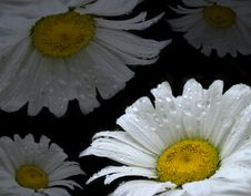 White Daisy S With Drops Of Wate Royalty Free Stock Image