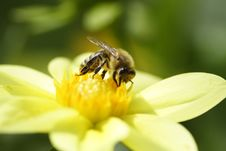 Free Bee On Flower Royalty Free Stock Image - 1273756