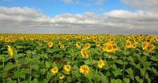 Sunfowers Royalty Free Stock Photo
