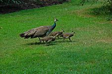 Free Peacock Family Royalty Free Stock Images - 1275309