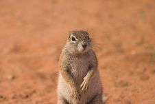 Free Ground Squirrel Royalty Free Stock Photo - 1279375