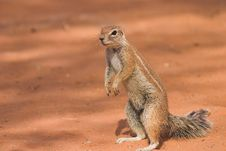 Free Ground Squirrel Stock Image - 1279391
