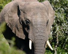 Young Elephant Bull Royalty Free Stock Images