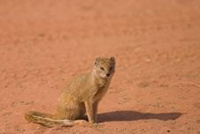 Free Yellow Mongoose Royalty Free Stock Photo - 1279695