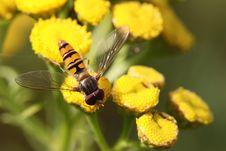 Free Marmalade Hoverfly Stock Photos - 12709223