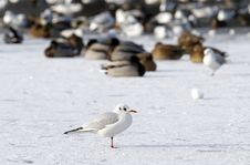 Seagull On Frozen Water In Winter Stock Images