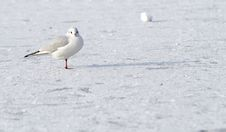 Free Seagull On Frozen Water In Winter Stock Image - 12709821