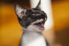 Free Close-Up Photo Of A Yawning Cat Royalty Free Stock Photo - 127081605
