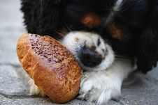 Free Tricolor Cavalier King Charles Spaniel Puppy Eating Bread Royalty Free Stock Photography - 127081627