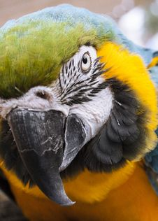Free Close-up Photo Blue-and-yellow Macaw Stock Photography - 127260002