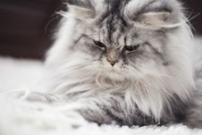 Free Gray And White Persian Cat Royalty Free Stock Images - 127260019