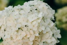 Free Selective Focus Photograph Of White Hydrangea Flower Royalty Free Stock Photo - 127260195