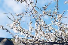 Free White Cherry Blossom Under Cloudy Sky Royalty Free Stock Photography - 127260197