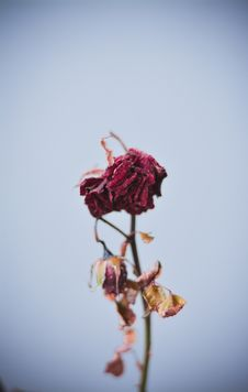 Free Dried Red Flowers Stock Photos - 127260283