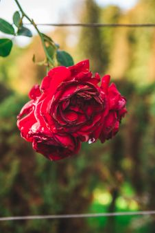 Free Close-Up Photography Of Red Rose Royalty Free Stock Images - 127260529