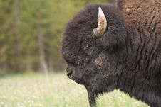 Free Great American Bison Stock Photos - 12736723