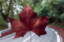 Free Red Maple Leaf Stock Photos - 127327963