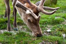 Free The Red Deer Picking Up Grass Stock Images - 12749594