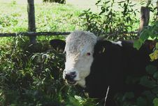 Free White And Black Buffalo Stock Images - 127449944