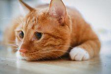 Free Orange Tabby Cat Lying On Floor Royalty Free Stock Image - 127450176