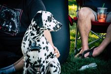 Free Adult White And Black Dalmatian Near Person Sitting On Chair Royalty Free Stock Photo - 127767155