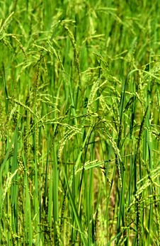 Free Green Rice Field Texture Wallpaper Stock Photo - 12790450
