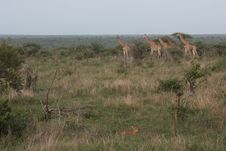 Free Grassland, Ecosystem, Wildlife, Savanna Royalty Free Stock Image - 127904706