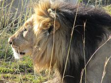 Free Wildlife, Lion, Terrestrial Animal, Masai Lion Royalty Free Stock Photos - 127904758