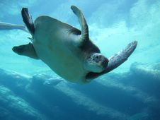Free Sea Turtle, Turtle, Loggerhead, Marine Biology Royalty Free Stock Photos - 127905458