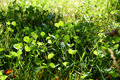 Free Clover Patch And Grass Stock Image - 1283211