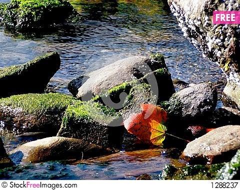 Maple Leaf in Tidal Pond Stock Photo