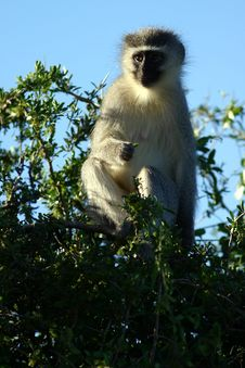 Free Vervet Monkey Royalty Free Stock Photography - 1280007