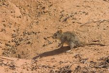 Free Three Striped Mouse, Royalty Free Stock Images - 1280249