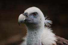 Free Head Of Vulture Royalty Free Stock Photos - 1280648
