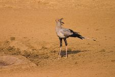 Free Secretary Bird Royalty Free Stock Images - 1280739