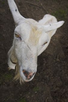 Free Goat Head Royalty Free Stock Photos - 1280818