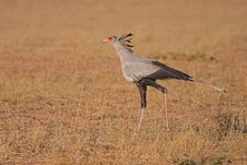 Free Secretary Bird Stock Image - 1280841