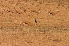 Free Springbok Ram With Ewes Royalty Free Stock Photos - 1280858