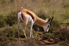 Free Springbok Stock Photography - 1280862