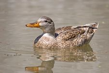 Mallard Female Royalty Free Stock Photos