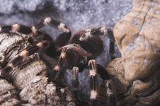 Free Tarantula 3 Royalty Free Stock Photo - 1281725