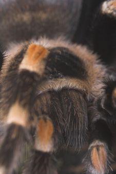 Free Tarantula 4 Stock Image - 1281761