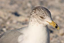 Free Ring-billed Gull Stock Image - 1281931