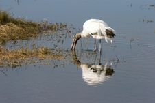 Free Wood Stork Royalty Free Stock Photography - 1281937