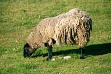 Free Sheep Stock Images - 1282974