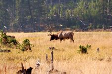 Yellowstone Elk Stock Images